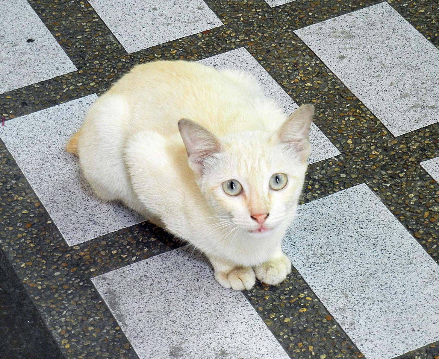 Weiße Katze in Thailand