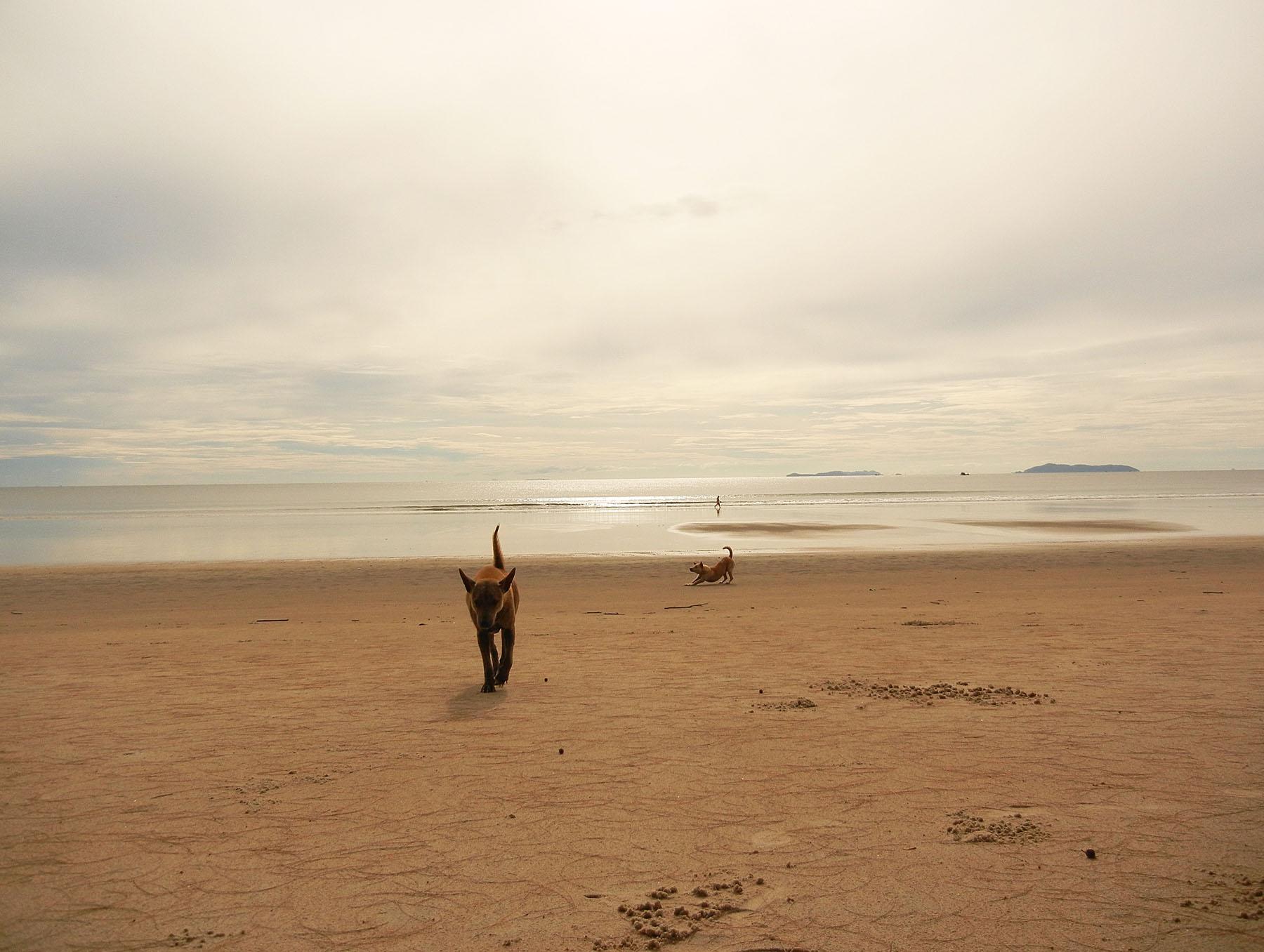 Strandhunde in Thailand