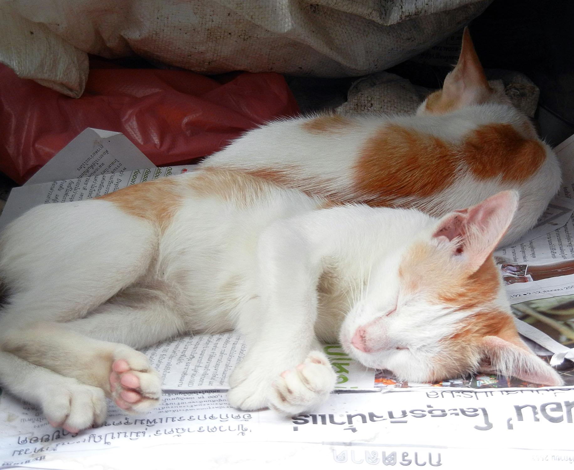 Thailaendische Katzen